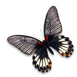 Great Mormon butterfly Royalty Free Stock Image