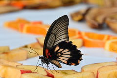 Great Mormon butterfly at the buffet table in the gardens Stock Images