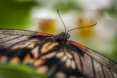 Great mormon butterfly close up Stock Images