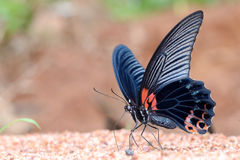 Great Mormon butterfly eating salty Royalty Free Stock Photography