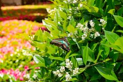 Great mormon butterfly hanging onto branch with green leaves in stock photo