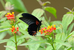 Great Mormon butterfly (Papilio memnon) Royalty Free Stock Photos
