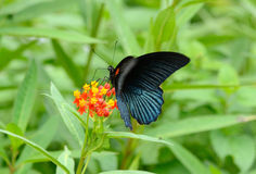Great Mormon butterfly (Papilio memnon) Stock Photo