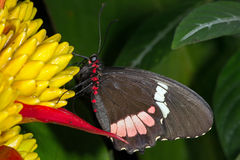 Great Mormon Butterfly (papilio memnon) Stock Photos