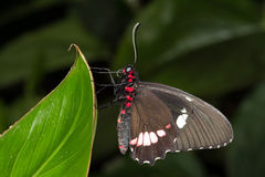Great Mormon Butterfly (papilio memnon) Stock Image