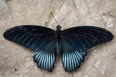 Great Mormon Butterfly Royalty Free Stock Photo