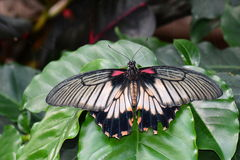 Great Mormon butterfly at the  table in the gardens Stock Photography