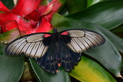 Great Mormon butterfly at the  table in the gardens Royalty Free Stock Image