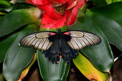 Great Mormon butterfly at the  table in the gardens Royalty Free Stock Photos