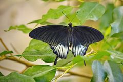 The Great Mormon Lat. Papilio memnon is a large butterfly with contrasting colors. Beautiful butterfly. About 13 of subspecies. The Great Mormon Lat. Papilio royalty free stock photography