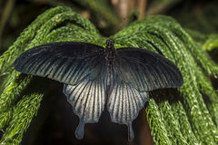 The Great Mormon (Papilio memnon) Stock Photography