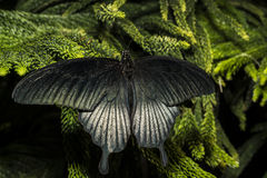The Great Mormon (Papilio memnon) Stock Image