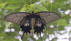 The Great Mormon (Papilio memnon). Royalty Free Stock Photography