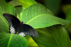 Great Mormon, Papilio memnon, resting on the green branch. Wildlife scene from nature. Beautiful black butterfly in forest habitat Stock Photography