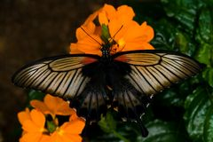 Great Mormon tropical butterfly Royalty Free Stock Images