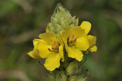 Great Mullein Royalty Free Stock Image