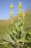 Great Mullein Stock Image
