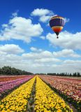 Great multi-colored balloon flies over flower field. Great multi-colored balloon flies over buttercups field. Flower kibbutz near Gaza Strip. Spring flowering royalty free stock photos