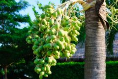 Palm fruit and blue sky royalty free stock image