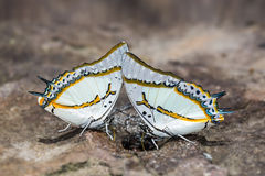 Great Nawab butterflies Stock Photography