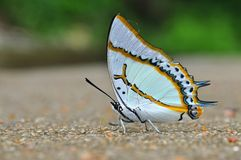Great nawab butterfly. Of thailand background Stock Image