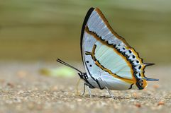 Great Nawab butterfly Royalty Free Stock Photo