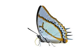 Great nawab butterfly. Of Thailand background Royalty Free Stock Images