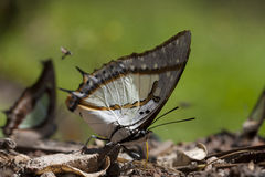 Great Nawab  Butterfly Stock Photo