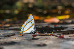 Great nawab butterfly Royalty Free Stock Photography