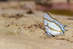 The Great Nawab butterfly Royalty Free Stock Photo