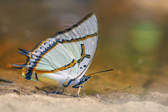 The Great Nawab butterfly. Great Nawab  polyura eudamippus  eat mineral in nature Stock Photography