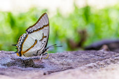 The Great Nawab Butterfly Stock Images