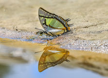 The Great Nawab Polyura butterfly. The Great Nawab Polyura eudamippus Doubleday Stock Images