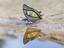 The Great Nawab Polyura butterfly. The Great Nawab Polyura eudamippus Doubleday in nature on sand Stock Image