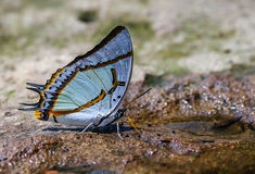 The Great naweb. The Great nawab butterfly on sand Stock Photography