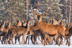 Great noble deer surrounded by herd.Portrait of a deer, while looking at you.Adult deer with big beautiful horns on snowy field. stock photos