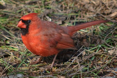 Great northern cardinal male on ground Royalty Free Stock Photo
