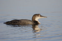 Great-northern diver, Gavia immer Royalty Free Stock Photos