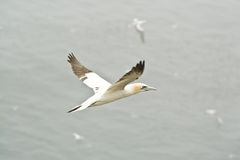 Great Northern Gannet royalty free stock photos