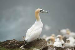 Great Northern Gannet Stock Photos