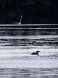Great northern loon bird at water Royalty Free Stock Image