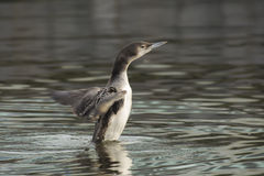 Great Northern Loon Stock Photos