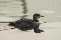 Great Northern Loon Royalty Free Stock Photos