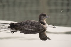 Great Northern Loon Stock Images
