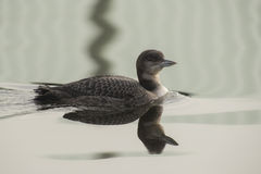 Great Northern Loon Royalty Free Stock Photography