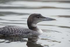 Great Northern Loon Stock Image