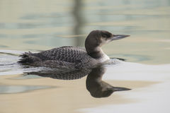 Great Northern Loon Stock Photography