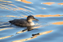 Great Northern Loon Stock Photo