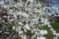 Great number of flowers of Prunus cerasifera. In spring stock photo