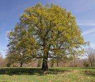 Great Oak Centennial Stock Photography